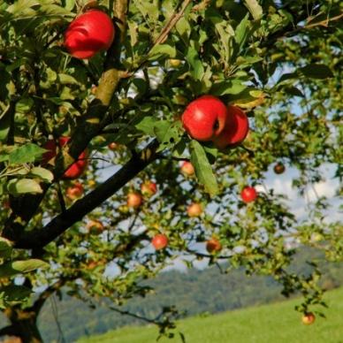 Contributi in Trentino per frutticoltura